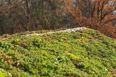 Top of green living roof covered with sedum sexangulare vegetation. Top of green living roof covered with vegetation mostly sedum sexangulare, also known as royalty free stock photo