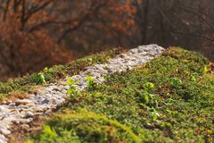 Top of green living roof covered with sedum sexangulare vegetation. Top of green living roof covered with vegetation mostly sedum sexangulare, also known as stock image