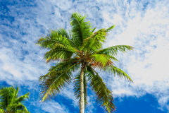 Top of Green palm tree Royalty Free Stock Photo