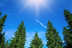Top of green pine trees on blue sky background Royalty Free Stock Photo