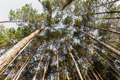 Top of green pines Royalty Free Stock Photo