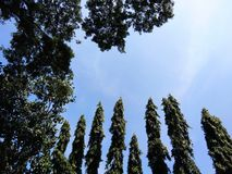 Top green tree, Asoka tree and blue sky royalty free stock photo