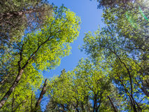 Top of green trees in forest with blue sky. And sun beams shining Stock Photos