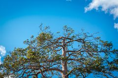 The top of a high coniferous tree against the blue sky. On a clear and blue sky, only a few white clouds royalty free stock photo