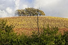 Top Hill trees in the vineyards royalty free stock photography