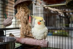 Adult male cockatiel seen perched within his opened bird cage, located in a conservatory. royalty free stock image