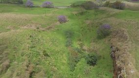 Top 4k aerial view on beautiful lilac violet jacaranda trees blooming in wild nature green field on Maui island Hawaii stock footage