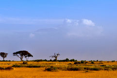 Top of kilimanjaro mountain in the sunrise Royalty Free Stock Image