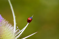 On the top. Ladybug on the dipsacus fullonum. Macro photography of wildlife Royalty Free Stock Images