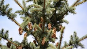 The top of large blue spruce cones stock video footage