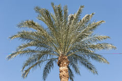 Top of a large date palm tree Stock Photos