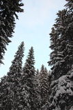 Top of large fir trees Royalty Free Stock Images