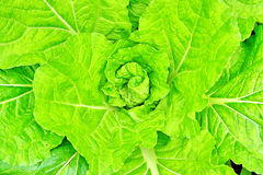 Top of lettuce Royalty Free Stock Photos