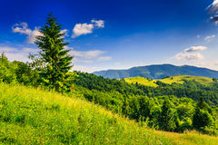 On the top. Lone green fir tree stands in the grass on the hilly area. meadow in the summer evening sun, near the mixed type forest in the high mountains Stock Image