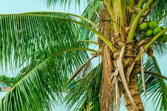 Top of a low palm tree with fruits stock image