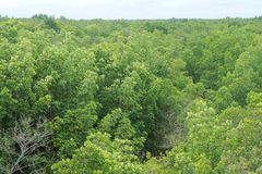 Top of mangrove forest Royalty Free Stock Image