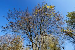 The top of a maple tree on blue sky background. Top of a maple tree with dry leaves yellowed. Photographed close up against the blue sky Stock Photography