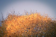 Top of maple tree with yellow foliage on blue sky Stock Images