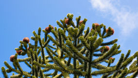 Top of a Monkey Puzzle tree with cones. Stock Photography