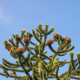 Top of a Monkey Puzzle tree Royalty Free Stock Photo