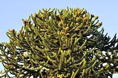 Top of Monkey Puzzle Tree at Sunset. British columbia Stock Photo