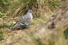 Top notch pigeon. The top notch pigeon standing in the soil Royalty Free Stock Photo