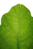 Top of an oak leaf Stock Images