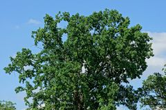 Top of an oak tree with green branches and leaves. Against a blue sky stock image
