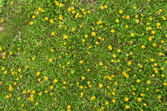 Free Top Of View A Dandelion Field Stock Image - 90950701