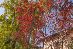 The top of an old farmhouse adorned by a beautiful red tree Stock Image