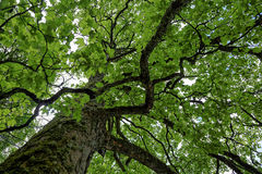 The top of an old green tree Royalty Free Stock Photos