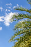 Top of palm leaves with puffy cloudy sky. Stock Photography