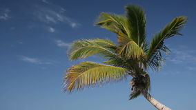Top of palm on sky background. Top of palm on blue sky background stock video