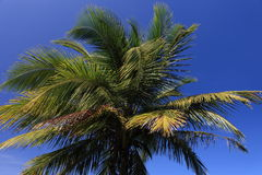 Top of palm tree Royalty Free Stock Photo