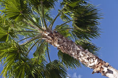 Top of palm tree Royalty Free Stock Photos
