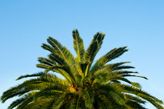 Top of a palm tree against a blue sky. Beautiful top of a palm tree against a blue sky Royalty Free Stock Photo