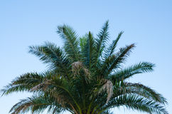 Top of palm tree against clear blue sky. A symbolic palm tree subconsciously inviting the viewer to a tropical vacation Stock Image