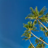 Top of palm tree on blue sky background Stock Image
