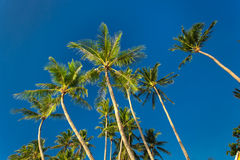 Top of palm tree on blue sky background Royalty Free Stock Photography