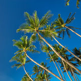 Top of palm tree on blue sky background Stock Images