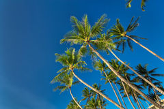 Top of palm tree on blue sky background Stock Photos