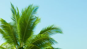 Top of the palm tree on blue sky background. Video 1080p - Top of the palm tree on blue sky background stock video footage