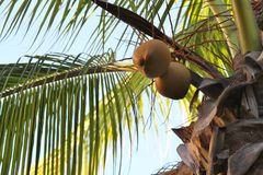 Top of palm tree with coconuts. Coconuts growing from a palm tree Stock Images