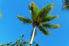 The top of a palm tree with green leaves on blue sky background Royalty Free Stock Photography