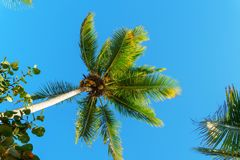 The top of a palm tree with green leaves on blue sky background Royalty Free Stock Image