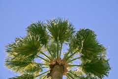 Top of palm-tree Royalty Free Stock Photography