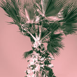 Top of palm tree. Split tone. Royalty Free Stock Image
