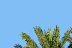 Top of a Palm Tree with Text Space in the Blue Sky Above. The green fronds on the top of a palm tree are shown on an afternoon day, with the blue sky above royalty free stock image