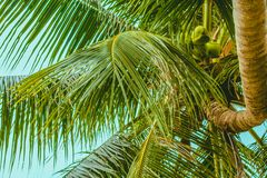 The top of the palm tree and the twisted trunk royalty free stock photography
