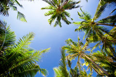 Top of palm trees Stock Images